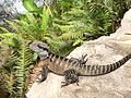 Water Dragon at the Australian Botanic Gardens at Mount Annan.jpg