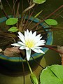 Water Lily @ Shinjuku Gyoen Greenhouse (9409741346).jpg