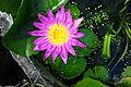 Water Lily by Khun Trisorn Triboon @ Phoenix Agency.jpg