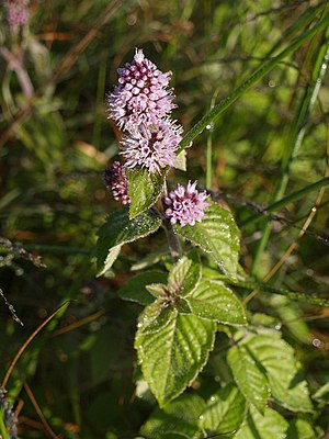English: Water Mint, Hollow Moor Mentha aquati...