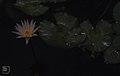 Water lily. Limestone Karst. Nassau (38870089751).jpg