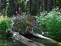 Water logs near Diamond Lake by Kelly Streich (8272127935).jpg