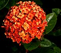 West Indian Jasmine -- Ixora.jpg
