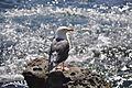 Western Gull - La Jolla - 05.jpg