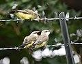 Western Kingbird (fledges and parents) (29748153128).jpg