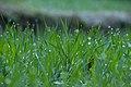 Wheat (Triticum) grass D35 2179 01.jpg
