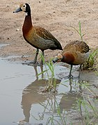 White-faced Whistling Ducks (Dendrocygna viduata) (17350023772).jpg