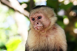 White-faced capuchin monkey Manuel Antonio.JPG