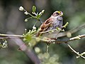 White-throated Sparrow RWD4.jpg