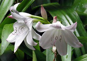 Crinum moorei - Crinum moorei flowers, Kirstenbosch botanical gardens, South Africa