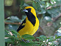 White Edged Oriole RWD1.jpg