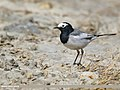 White Wagtail (Motacilla alba) (46892869514).jpg
