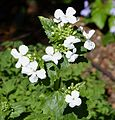 White honesty. Lunaria annua alba - Flickr - gailhampshire.jpg