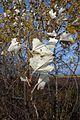 White poplar (Populus alba), Batka.jpg