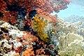 Whitespotted filefish Cantherhines macrocerus (2414051131).jpg