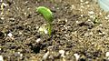Wikibooks planting-butterbean sprout.JPG