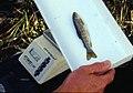 Wild trout project e walker river bridgeport0125 brown trout (26183309162).jpg