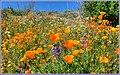 Wildflower Outbreak (101609407).jpeg