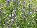 Wildflower P7160077.jpg