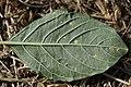 Wilsoniana sp. on Red-root Amaranth - Amaranthus retroflexus (29862484107).jpg