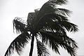 Wind from Typhoon Chaba blows through the fronds of a tree in Okinawa, Japan, Oct. 28, 2010 101028-M-VG363-095.jpg