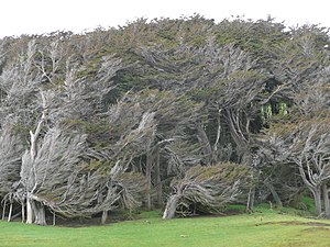 English: Windswept trees somewhere in New Zealand