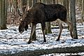 Winter im Wildpark Bad Mergentheim, Elch.jpg