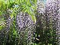Wisteria floribunda Multijuga - Flickr - peganum (1).jpg