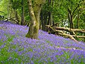 Wood with bluebells - geograph.org.uk - 701019.jpg