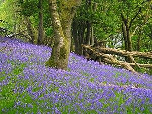 Bluebell Wood Wikipedia