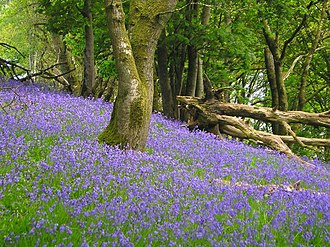 Bluebell wood - A bluebell wood, near Lampeter in Wales