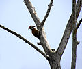 Woodpecker on a tree 001.jpg
