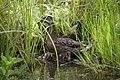 Wraxall 2010 MMB 08 Anas platyrhynchos (mother and chicks).jpg