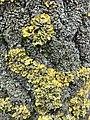 Xanthoria parietina 101852315.jpg