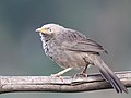 Yellow-billed Babbler, Bengaluru, Vimal Rajyaguru, 02.jpg