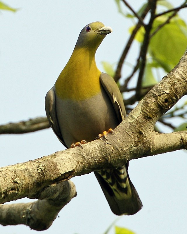 Yellow-footed Green-Pigeon (Treron phoenicopterus) male-8