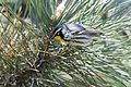 Yellow-throated Warbler (26101607940).jpg