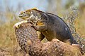 Yellow Iguana (49425710653).jpg