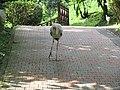 Yellow billed stork (7856526778).jpg