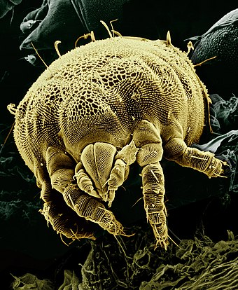 A microscopic mite Lorryia formosa. Yellow mite (Tydeidae) Lorryia formosa 2 edit.jpg