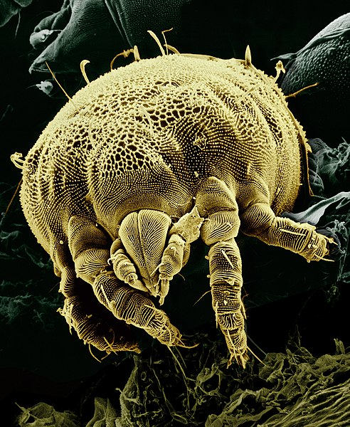 File:Yellow mite (Tydeidae) Lorryia formosa 2 edit.jpg