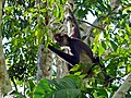 Yucatan Spider Monkey (Ateles geoffroyi yucatanensis) (6766684927)