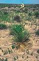 Yucca glauca subsp. stricta fh 515 KS B.JPG