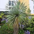 Yucca rostrata-IMG 6508.JPG