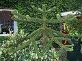 Zaandam-Araucaria-0306.jpg