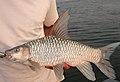 Zambezi Yellowfish.JPG