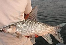 Zambezi Yellowfish.JPG
