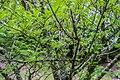 Zanthoxylum piperitum in Hackfalls Arboretum (3).jpg