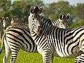 Zebra's (6558959743).jpg