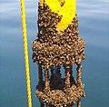 Zebra mussel GLERL 4.jpg